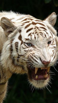 Amazing wildlife - White Tiger photo #tigers