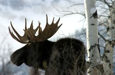 Moose amongst the Birches