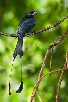 Greater Racket-tailed Drongo This bird does an elaborate dance & song to attract his female. Watch Birds of Paradise hosted by amazing by David Attenborough. It was fascinating.