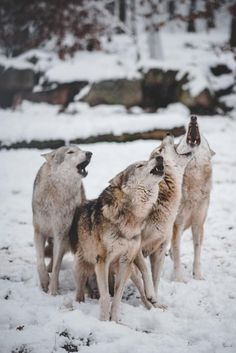 Howling pack of wolves   ©  Johannes Roth   More