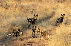 Seeing a wild dogs is not a common occurrence on safari. Seeing them out smarted by wildebeest is even less common.