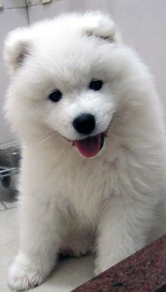Samoyed Puppy Small Dogs For Kids, Best Small Dogs, American Eskimo Dog, Baby Animals, Cute Animals, Samoyed Dogs, Pomeranians, Miniature Dogs, Snow Dogs