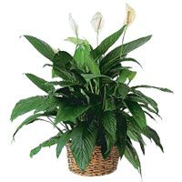 Spathiphyllum, also called Peace Lily, acts as a general air cleanser of many environmental pollutants, and will even filter contaminants such as benzene, formaldehyde and trichloroethylene. It cleans best at one plant per 10m2.