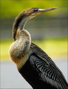 Anhinga the Snakebird. By zgrial on Flickr.  This Anhinga was perched on the railing of the boardwalk as I was heading back to leave Greencay wetlands. I decided to take some shots before walking by it. It allowed me to get really close but continued to stretch it's neck in different directions as it kept an eye on me.  When this waterbird surfaces the water, only the head and skinny long neck show, giving an appearance of a snake hence the name snakebird. #flickr#animals#anhinga#birds