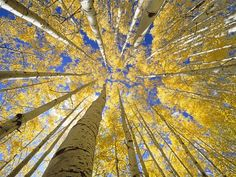 Quaking Aspen Grove in Fall, Colorado Photographic Print by John Eastcott & Yva Momatiuk at Art.com