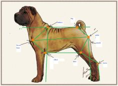 Correct body proportions for a Shar-Pei