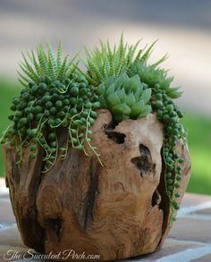 Indoor low light tolerating succulents in a wooden orb