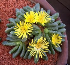 Glottiphyllum pygmaeum