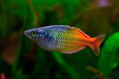 Regenbogenfisch von Baumihubcity
