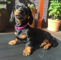 Love to sit in the sun. doxie