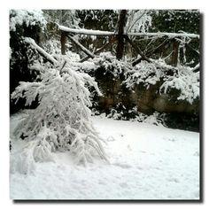 un giardino in diretta: L'acero in bianco #giardinoindiretta