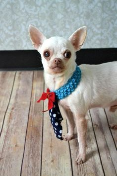 Jake **Diamond Dog $75 Adoption Fee**Chihuahua • Adult • Male • Small Collin County Humane Society McKinney, TX
