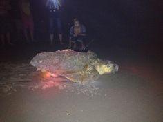 Loggerhead Sea Turtle. Topsail Island, NC