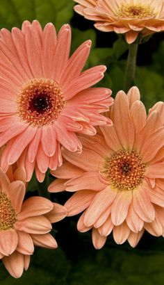 PEACH GERBERA DAISY: 1) Perennial zones 8-11, annual in other zones. 2) Full sun, afternoon shade. 3) Height 8-24 inches. 4) Plant so crown is above ground level. 5) Deadhead blooms as soon as wilted #flowers