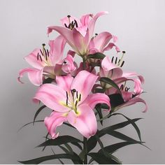 Myth Oriental Lilies are a Pink sweet scented cut flower. Very popular for wedding and event flowers. Start planning your day with Triangle Nursery now! Wholesale Flowers for Everyone | visit the website at www.trianglenursery.co.uk or follow us on social, Facebook, Instagram, LinkedIn, Youtube and much more @trianglenursery