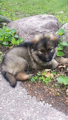 German Shepherd puppy Rocco!