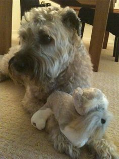 Riley our Soft Coated Wheaten Terrier watching the Westminster Dog Show with his pal. Wheaten Terrier, Terriers, Westminster Dog Show, Family Dogs, Beautiful Dogs, Dog Friends, Best Dogs, Life Is Good, Puppies
