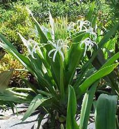 crinum lily 'green' - Google Search