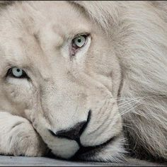 Beautiful portrait of a white lion