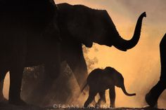 #photographer : Frans Lanting - African elephant and young, Loxodonta africana, Chobe National Park, Botswana
