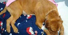 Droga: cani-corriere imbottiti di ovuli e uccisi