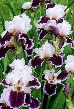 Iris germanica 'Ringo' Bearded iris rhizomes