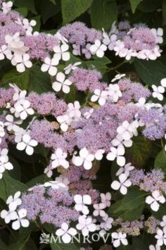 Bluebird Lacecap Hydrangea  Spectacular lace-cap bloom has a ring of sea-blue sterile florets surrounding a large cluster of rich blue fertile flowers. Flowers attain best blue tint in acid soils. Great in containers. Deciduous.