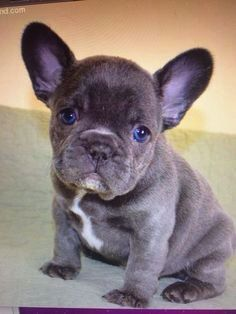 French bulldog with gorgeous blue eyes