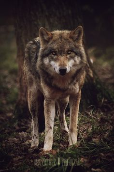 wolf, germany | animal + wildlife photography #wolves