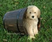 goldendoodles - Google Search