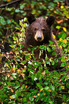 Black Bear (Ursus americanus) - Grand Teton National Park, Wyoming. by *iphelps