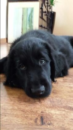 Dexter ~ Flat Coated Retriever Pup ~ Classic Look & Trim