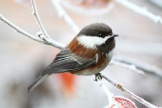 Nature Prints Chickadee Print Nature by PeggyCollinsPhotoArt