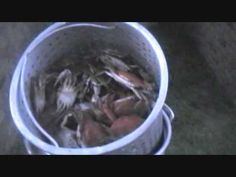HOW TO BOIL FRESHWATER BLUE CRABS, CAJUN STYLE