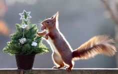 Squirrel helps himself to nut present on mini Christmas Tree at the Escot Estate, Ottery St Mary, Devon, Britain - 10 Dec 2014