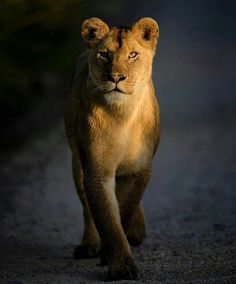 Beautiful Cats, Animals Beautiful, Animals And Pets, Cute Animals, Lion Couple, Lion Africa, Lion Photography, Female Lion, Lion And Lioness