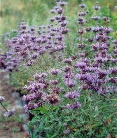 Leucadendron 'Jester' or Salvia clevelandii - Google Search