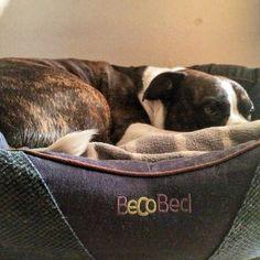 Nieeee ešte nechcem vstávať  Louis Vuitton Neverfull, Boston Terrier, Tote Bag, Dogs, Instagram Posts, Animals, Louis Vuitton Neverfull Damier, Boston Terriers, Animales