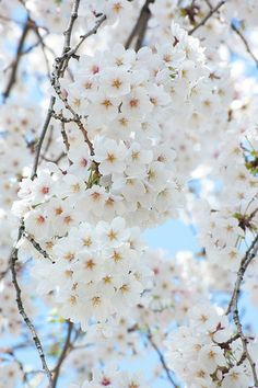 sakura 2012 cherry blossoms | sakura 2012 cherry blossoms | Flickr