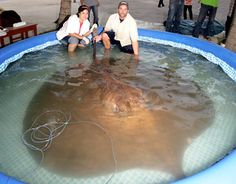 largest freshwater fish in the world, a freshwater stingray in the Mekong River in Thailand. The stingray weighed between 550 and 990 lbs (2...