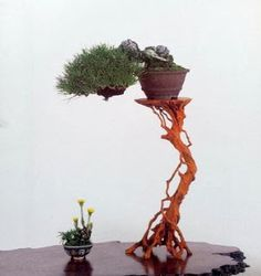 Bonsai Kalitatea: displayed on root stand w/ yellow flowered kusamono on jita