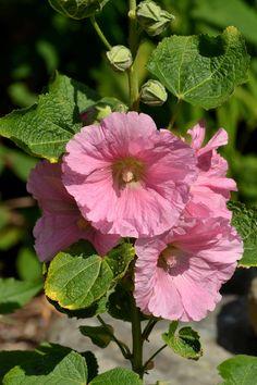 Growing Hollyhocks, Hollyhocks Flowers, Growing Flowers, Planting Flowers, Beautiful Flowers Garden, Pretty Flowers, Beautiful Gardens, Pink Flowers, Outdoor Flowers