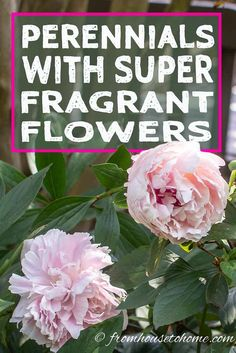 This list of perennials with the most fragrant flowers is awesome! Love all of the shrubs with scented flowers that are perfect for front yards or backyards. #fromhousetohome #fragrantplants #plants #gardeningtips #gardenideas #perennials