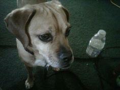 Cutest puggle.. #puggle Rocky