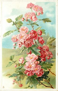 Pink japonica ~ 1911