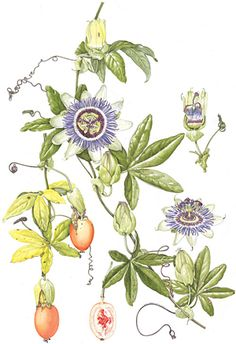 Passion Flowers, my other favorite!