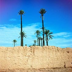 Reaching for the Stars! #morocco #moroccan #palm #trees #sky #wall #nature #marrakech #palmeraie #travel #tourism #photography