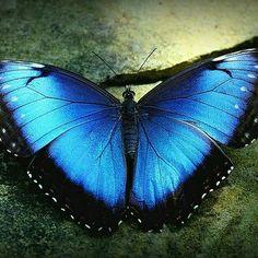 "Blue Morpho butterfly - wings spread ""Butterflies in the Garden"" - Fort Worth Botanical Gardens - March 2012 by Texas Eagle Butterfly Facts, Blue Butterfly Tattoo, Diy Butterfly, Morpho Butterfly, Butterfly Pictures, Largest Butterfly, Butterfly Wallpaper, Butterfly Wings, Butterfly Costume"