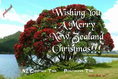 New Zealand Christmas Tree. Pohutakawa . NZ Summer 2014