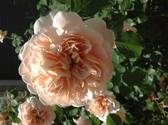 Antique roses in my yard!